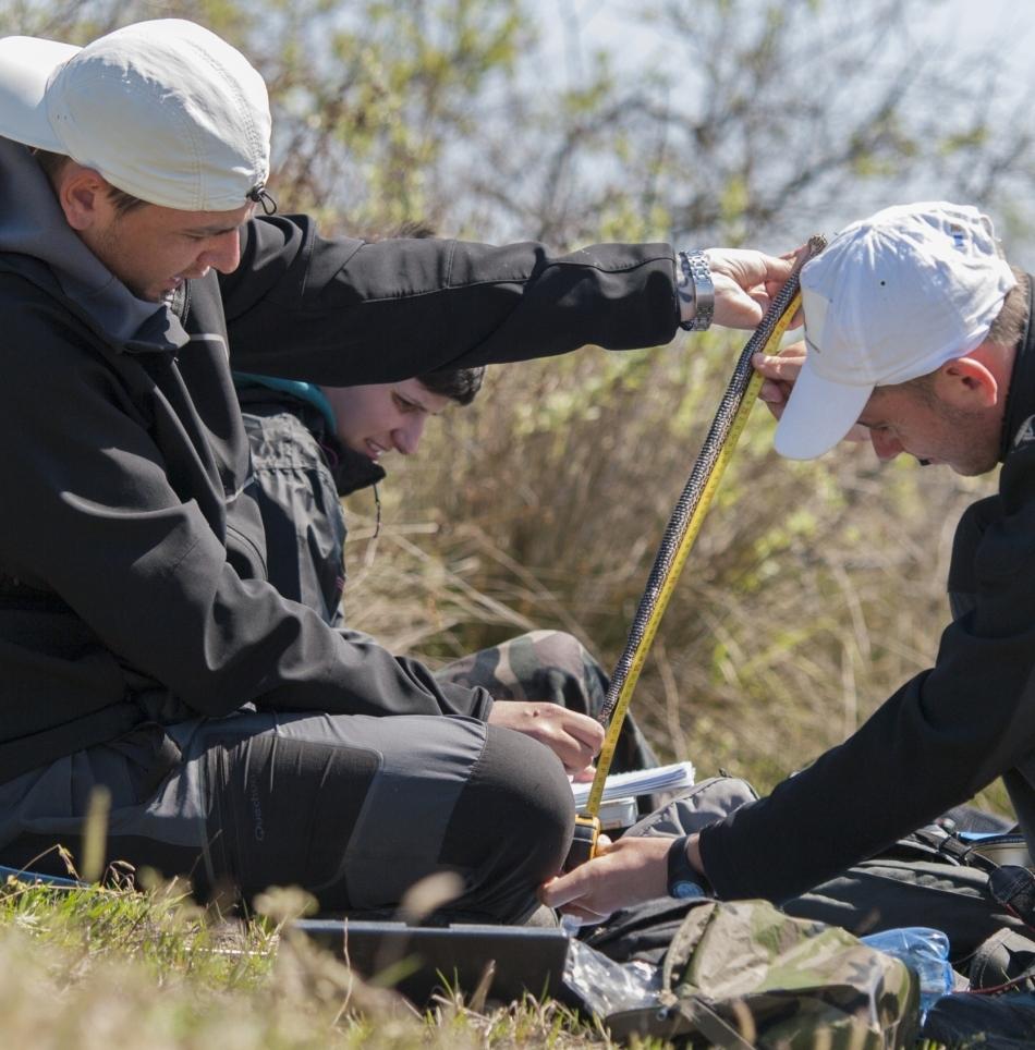 Cercetătorii Alexandru Strugariu (stânga) şi Mihai Huţuleac (dreapta) mâsurând lungimea unui exemplar foarte rar de viperă de stepă moldavă.