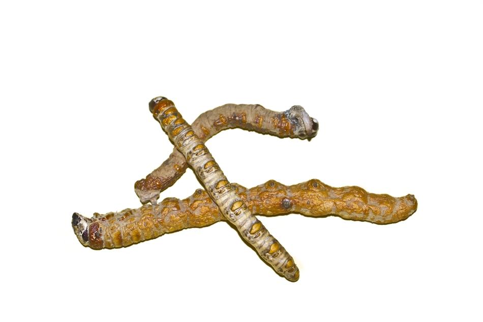Câteva ciuperci uscate de Yarsagumba.