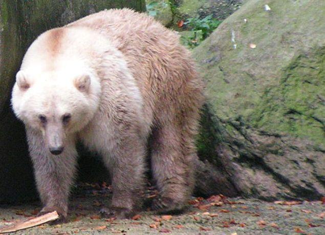 """Urs """"grolar"""" sau """"pizzly"""", un hibrid între ursul grizzly şi ursul polar."""