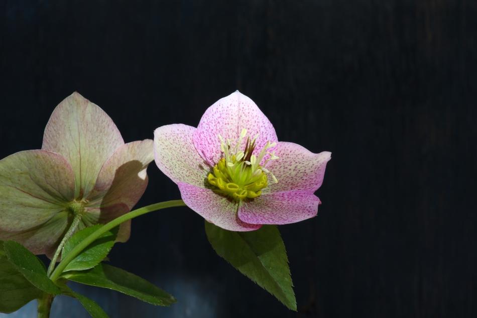 Floare de spânz.