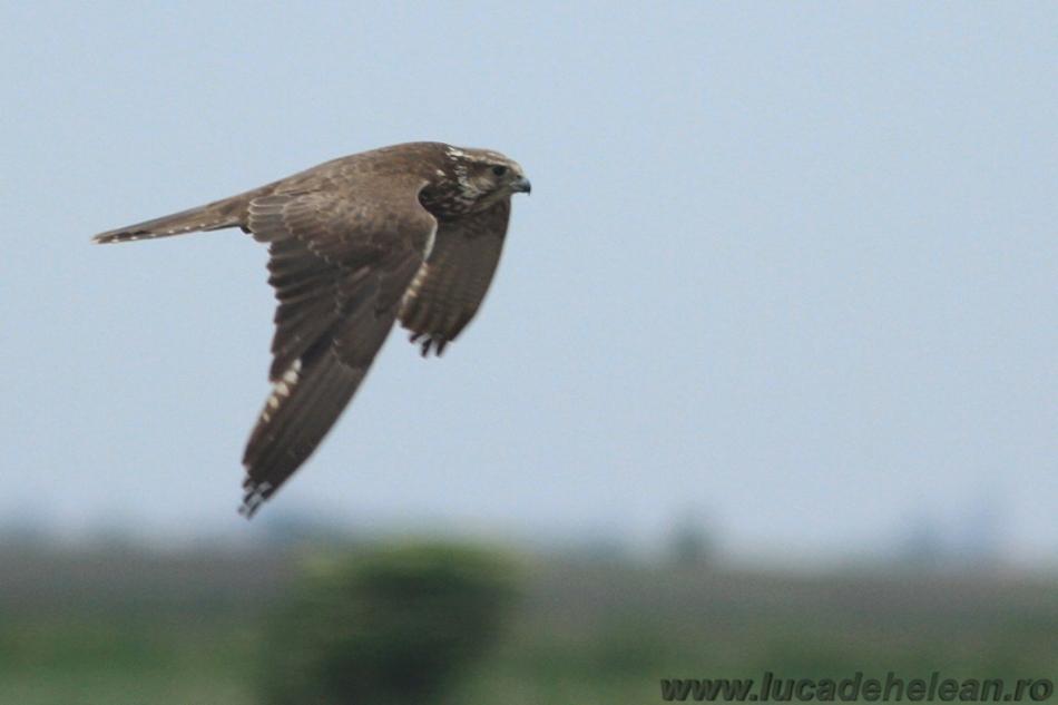 Mascul de şoim dunărean în zbor.