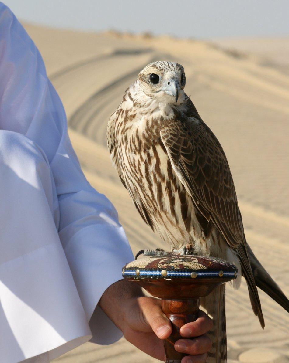 Şoim dunărean juvenil folosit în soimărit în Dubai.