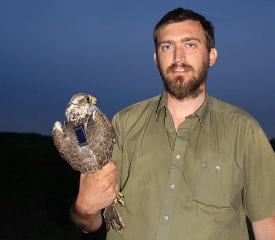 Şoim dunărean marcat şi inelat alături de ornitologul Luca Dehelean.