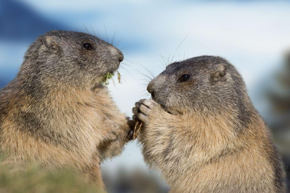 Doi pui de marmotă.