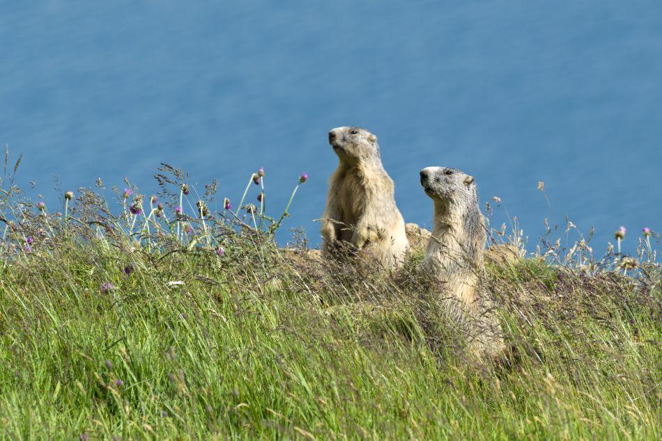 Două marmote uitându-se atente după acvile de munte.