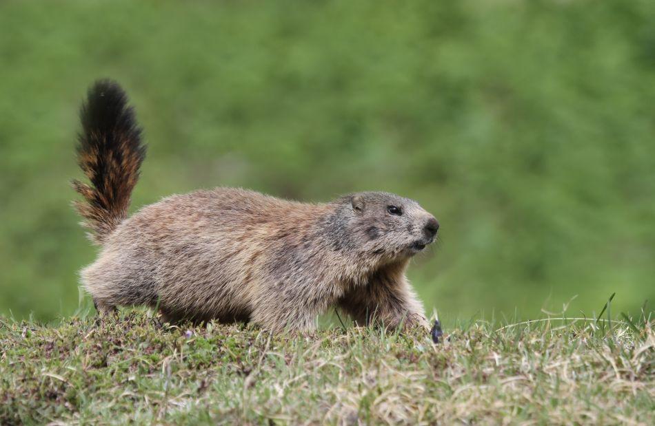 O marmotă care a văzut un câine se grăbeşte să se ascudă în vizuină.