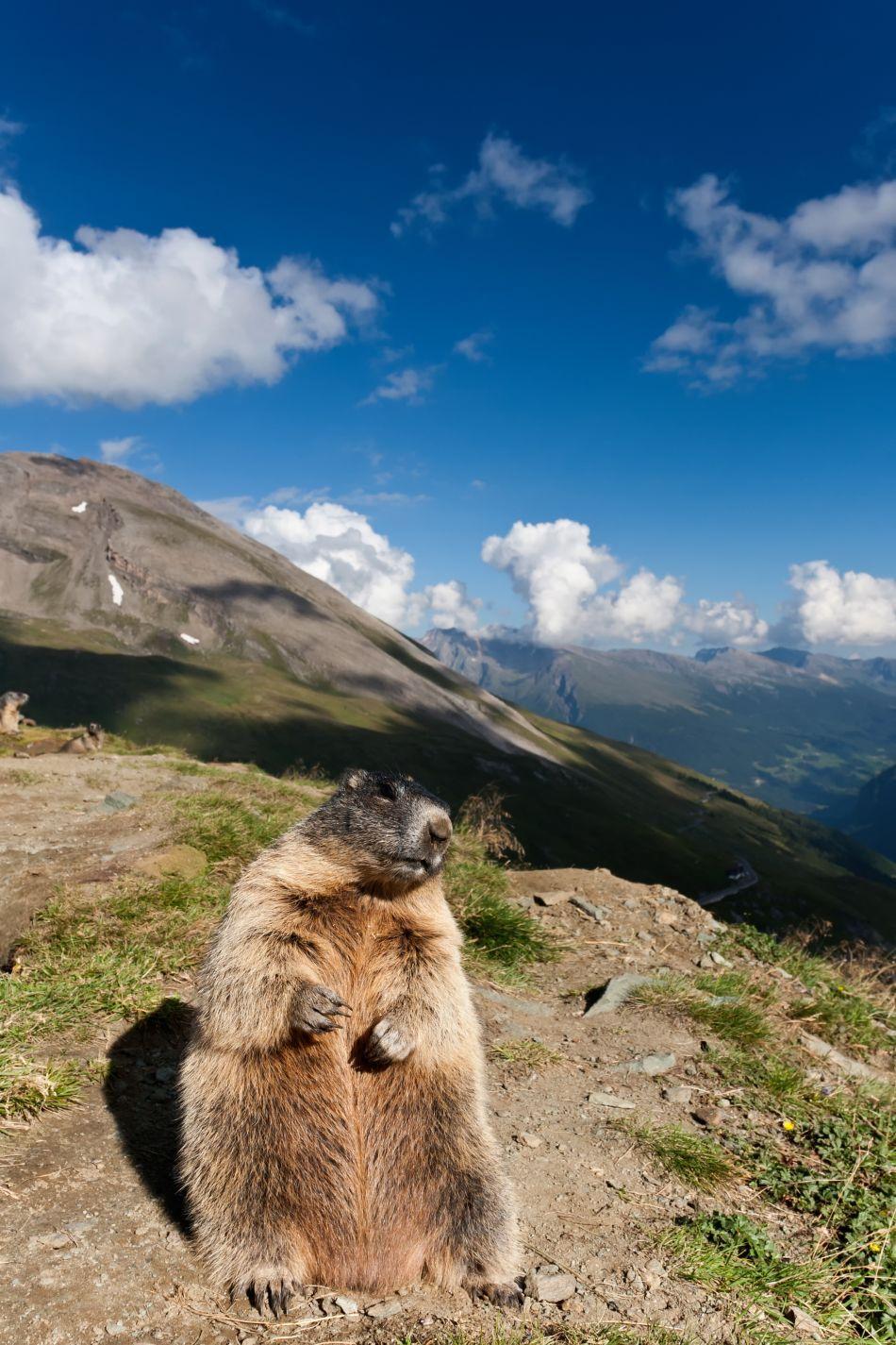 O marmotă priveşte curioasă obiectivul aparatului de fotografiat.