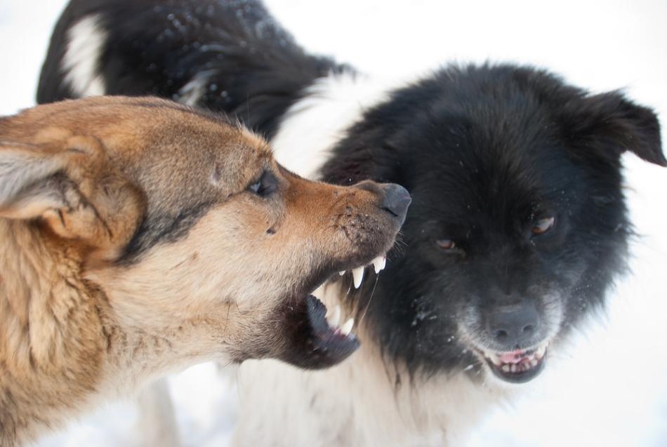 Câinii masculi se luptă adesea între ei pentru superioritate ierarhică sau pentru femelele în călduri.