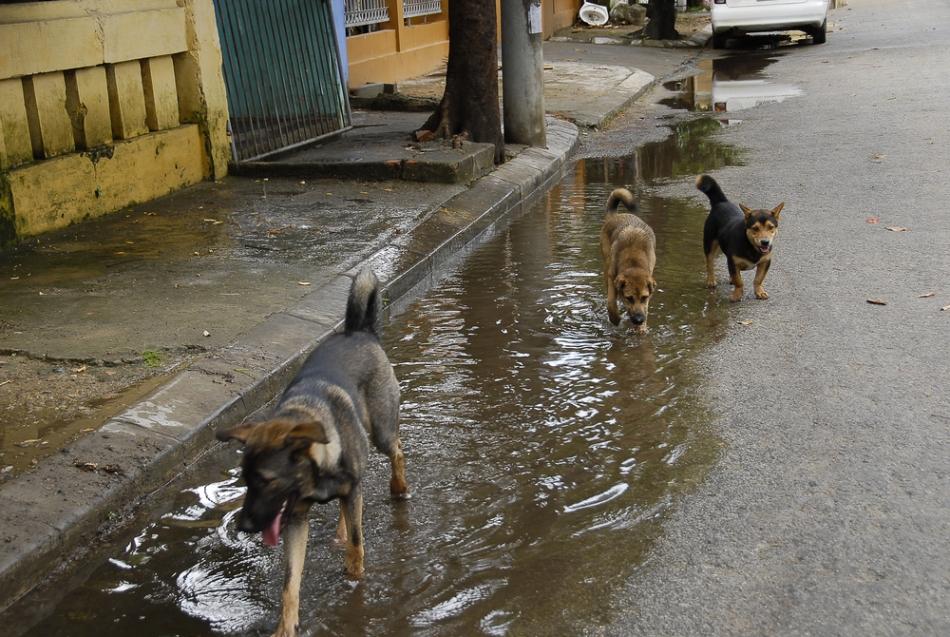 Câinii maidanezi se strâng adesea în haite pentur a-şi apăra mai uşor teritoriul de alţi câini ai străzilor.