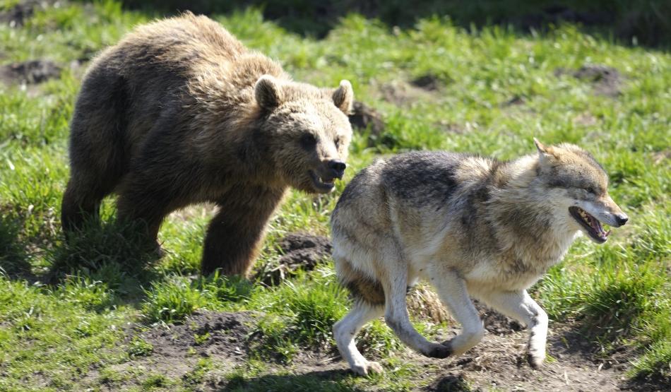 cum să tratezi articulațiile și un urs