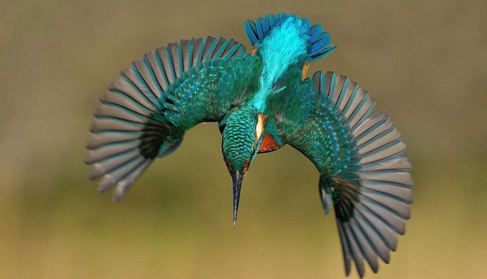 Plonjonul perfect al Pescăruşului Albastru, surprins de fotograful Lan McFadyen
