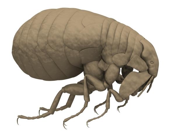 insectele mănâncă penis
