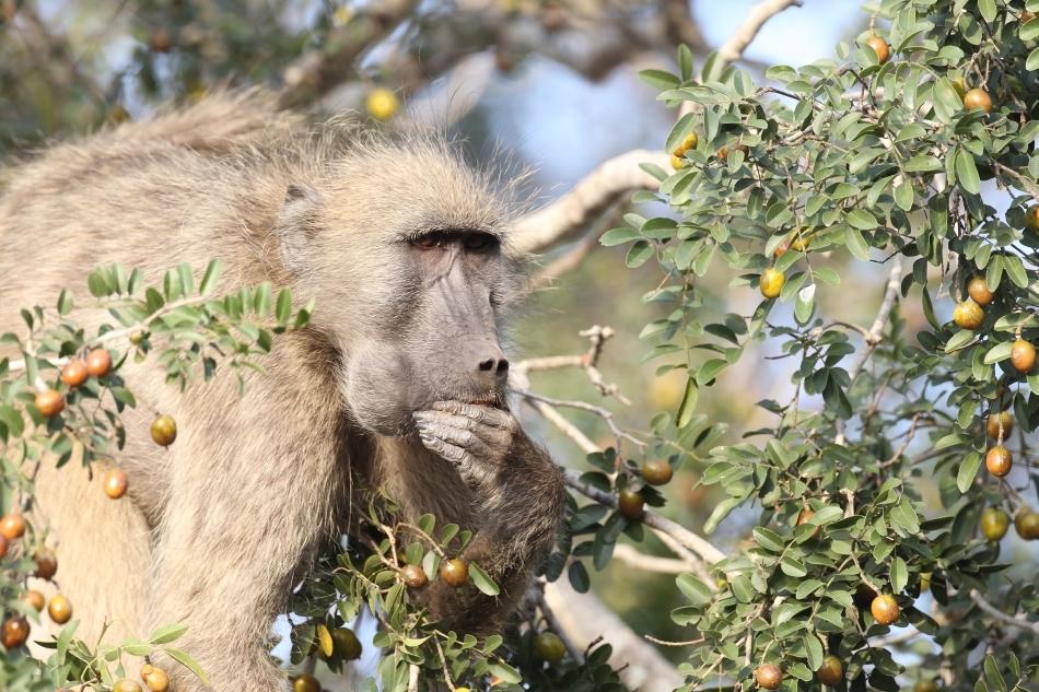 Babuinii -  Hoardele din savană