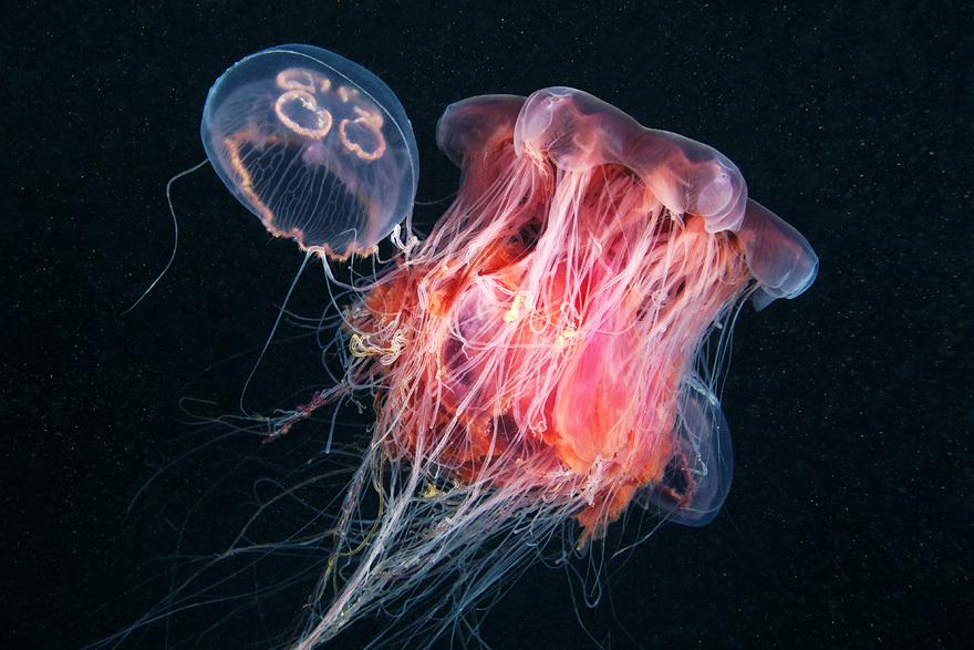 Cea mai mare meduză din lume a fost surprinsă în imagini spectaculoase / Foto: Alexandre Semenov