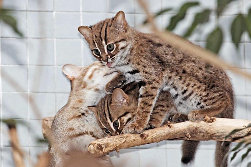 Cele mai mici pisici din lume