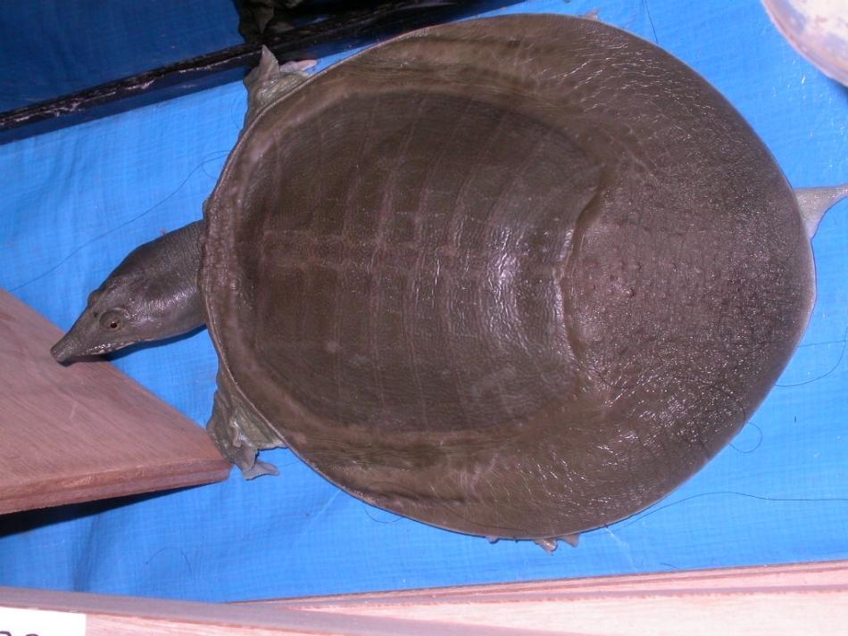 Misterele naturii: această ţestoasă chinezească elimină ureea pe gură / Foto: Clunio