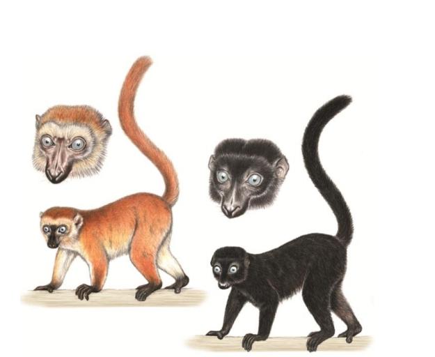 Sclater's black lemur or Blue-eyed black lemur (Eulemur flavifrons)