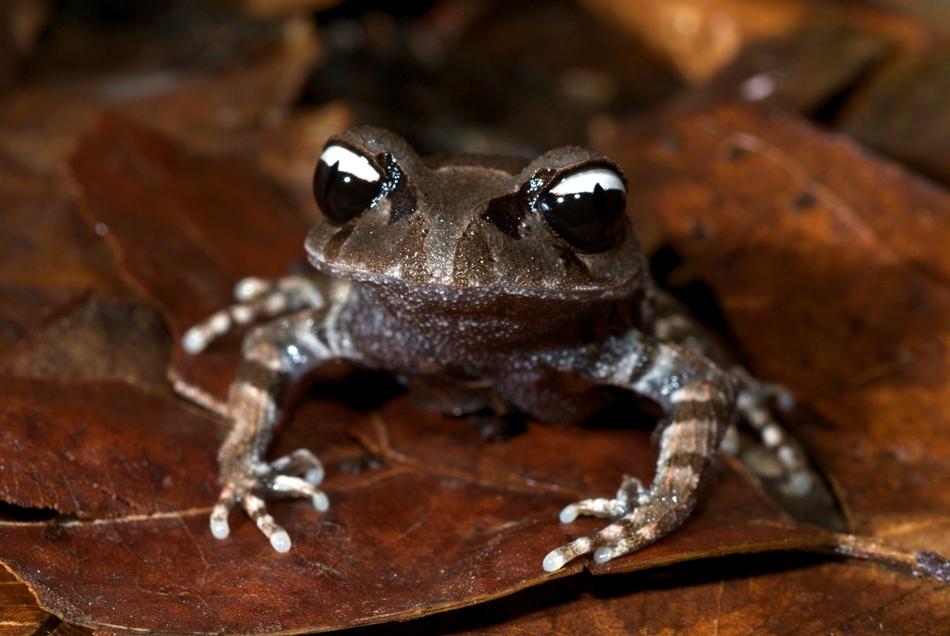 Leptobrachium leucops - o broască frapantă prin ochii săi alb-negru.