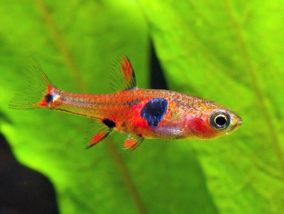 Boraras naevus, un peştişor de numai 2 cm lungime, cu un colorit interesant.