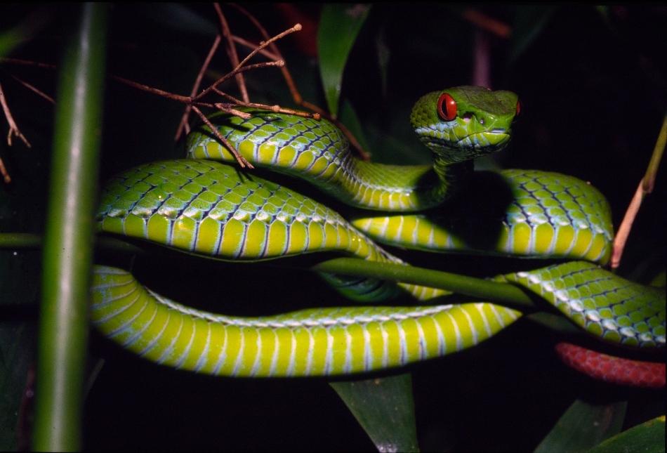 Vipera verde cu ochi roşii, descoperită în Vietnam şi Cambodgia.