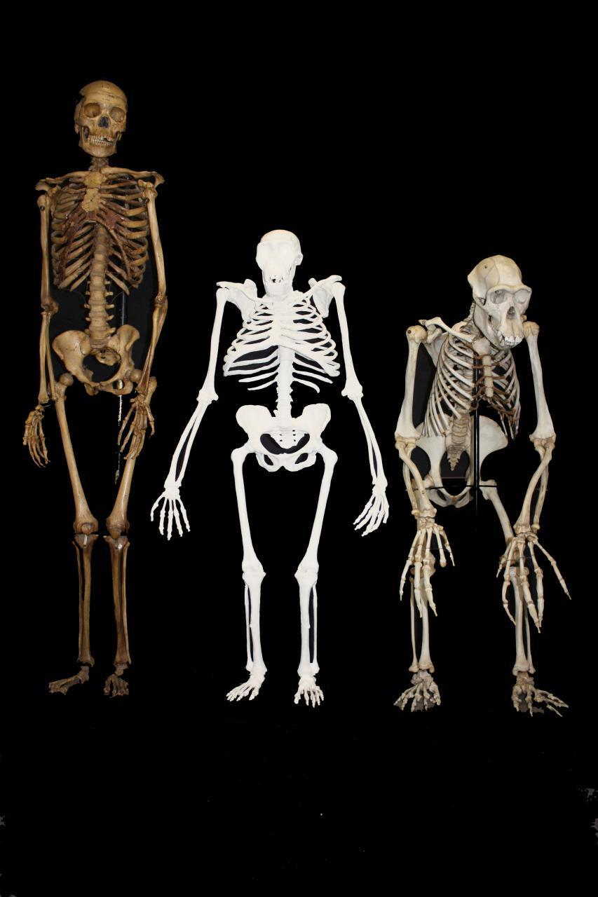 Comparaţie între o femeie modernă, o femelă de Australopithecus sediba şi un cimpanzeu