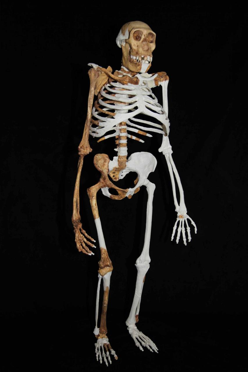 Femelă de Australopithecus sediba