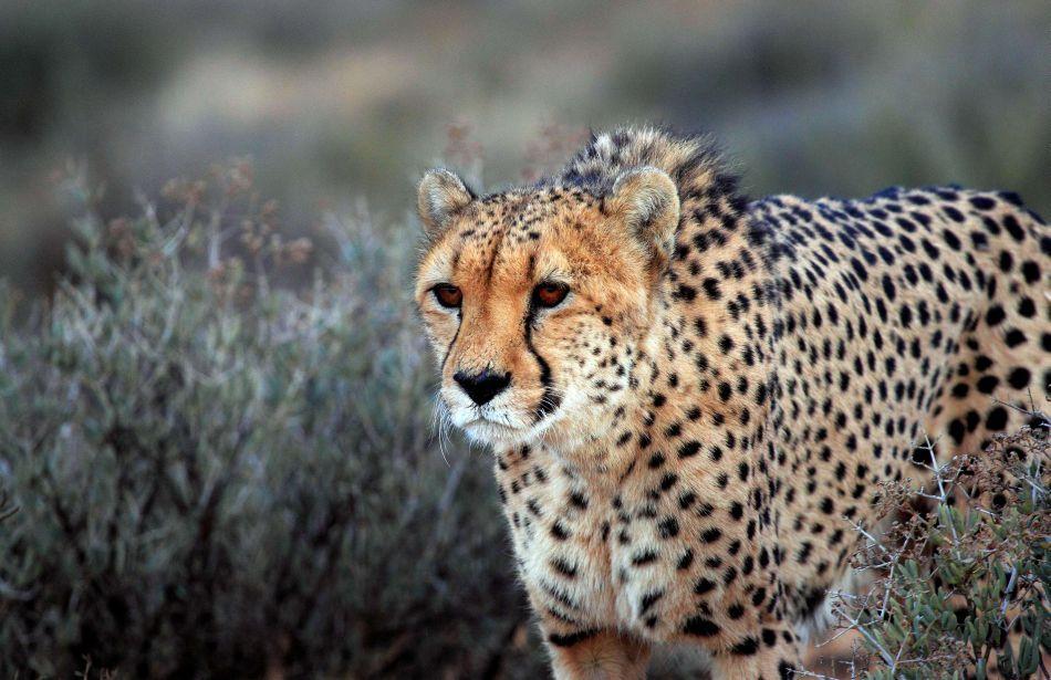 vedere într-un ghepard
