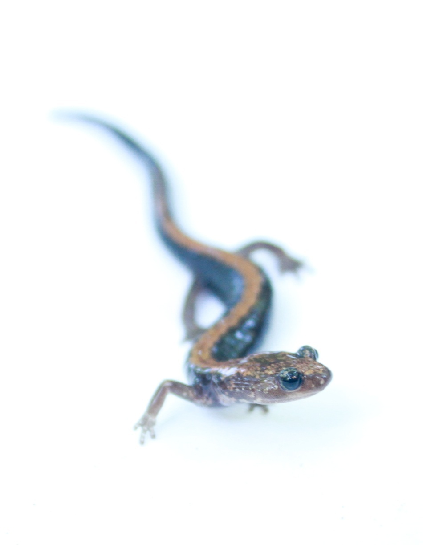 Salamandra / Foto: Brian Gratwicke