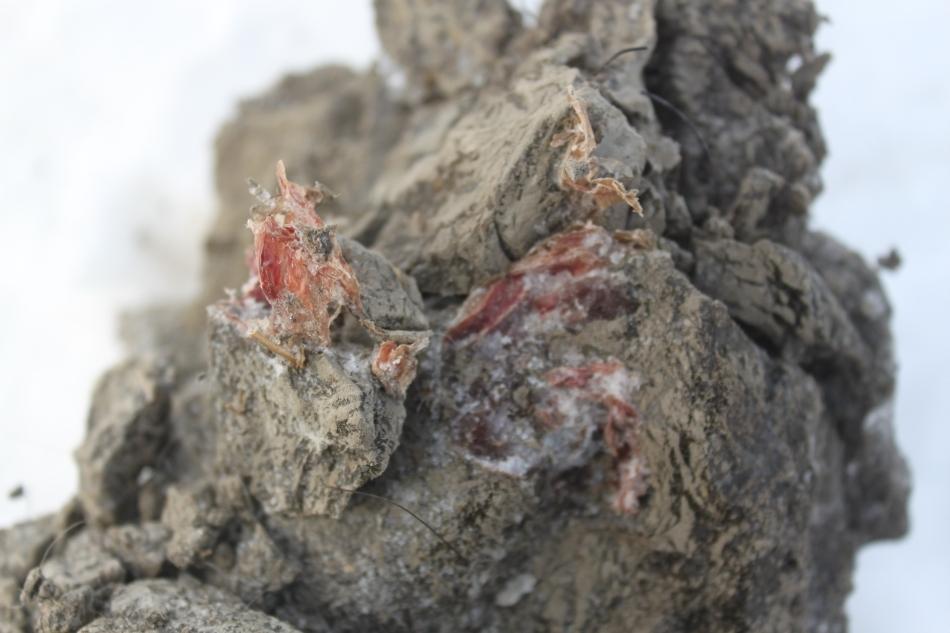 Premieră mondială: a fost descoperit sângele vechi de 10.000 de ani, al unui mamut (FOTO)