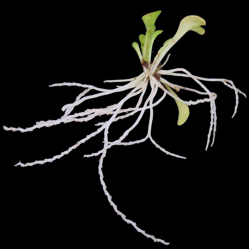 Plantă carnivoră - Genlisea Violacea
