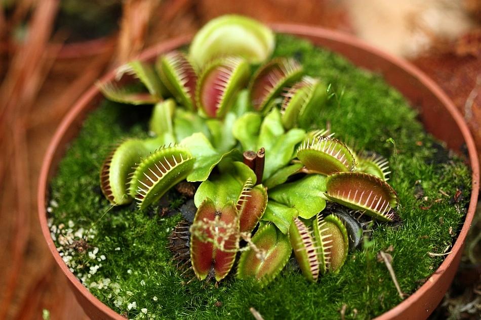 Dionaea muscipula, plantă carnivoră