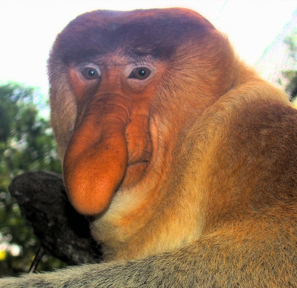 Maimuţa năsoasă (Nasalis larvatus)