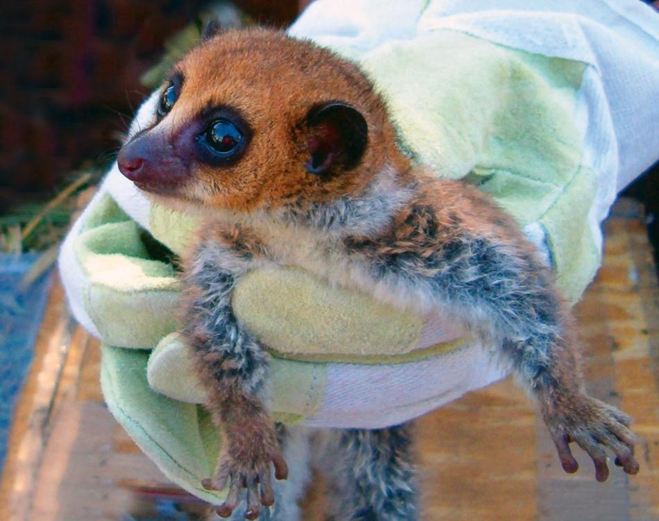 Lemurianul pitic Lavasoa: noua şi uimitoarea specie descoperită (Galerie foto)