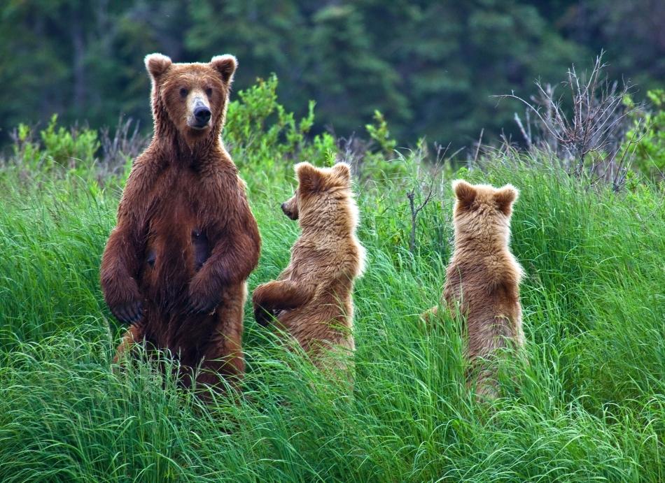 Urşi grizzly în Parcul Naţional Katmai, Alaska, SUA