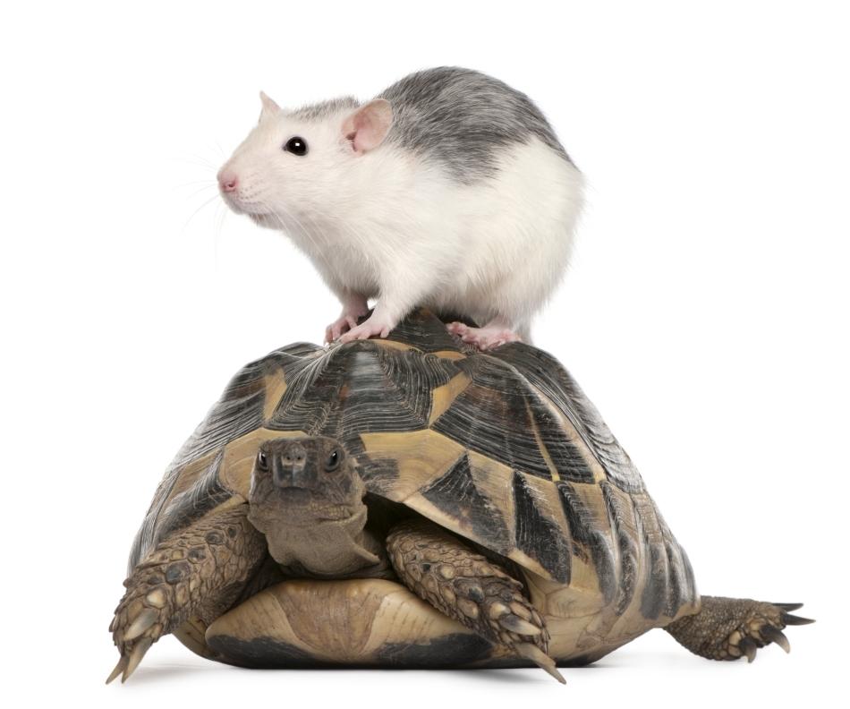 Şoarece şi ţestoasă