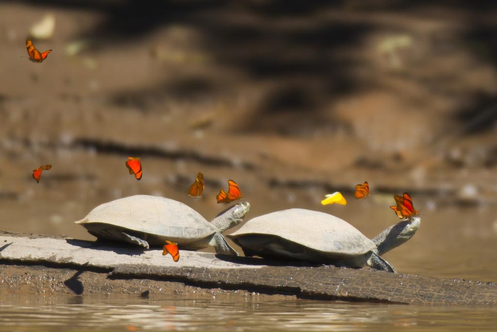 De ce beau fluturii lacrimile broaştelor ţestoase amazoniene? (VIDEO)