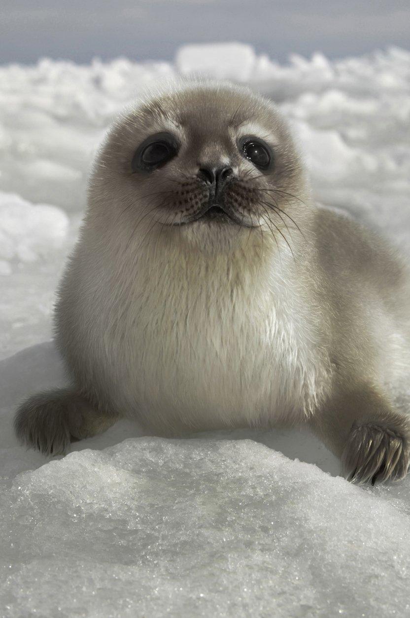 un pui hibrid între foca inelată şi cea comună