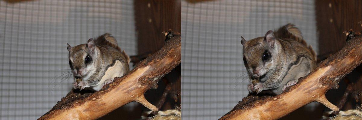 În imaginea din stânga este surprinsă veveriţa zburătoare sudică, iar în cea din stânga putem vedea veveriţa zburătoare nordică.