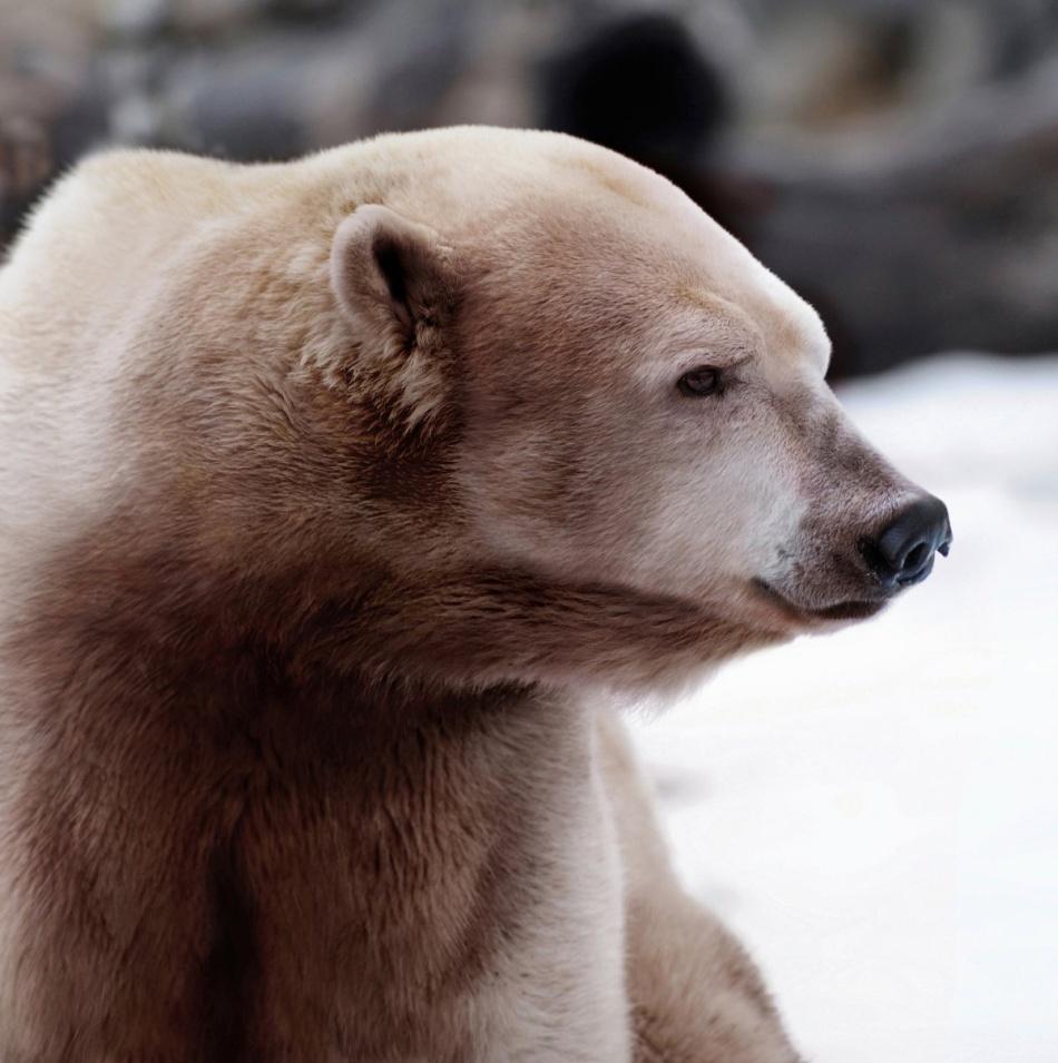 Acesta este hibrid între ursul polar şi cel brun