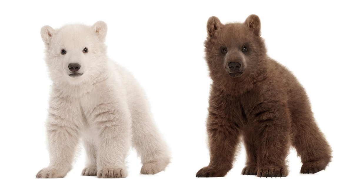 În imagini puteţi vedea un pui de urs polar şi unul de urs brun