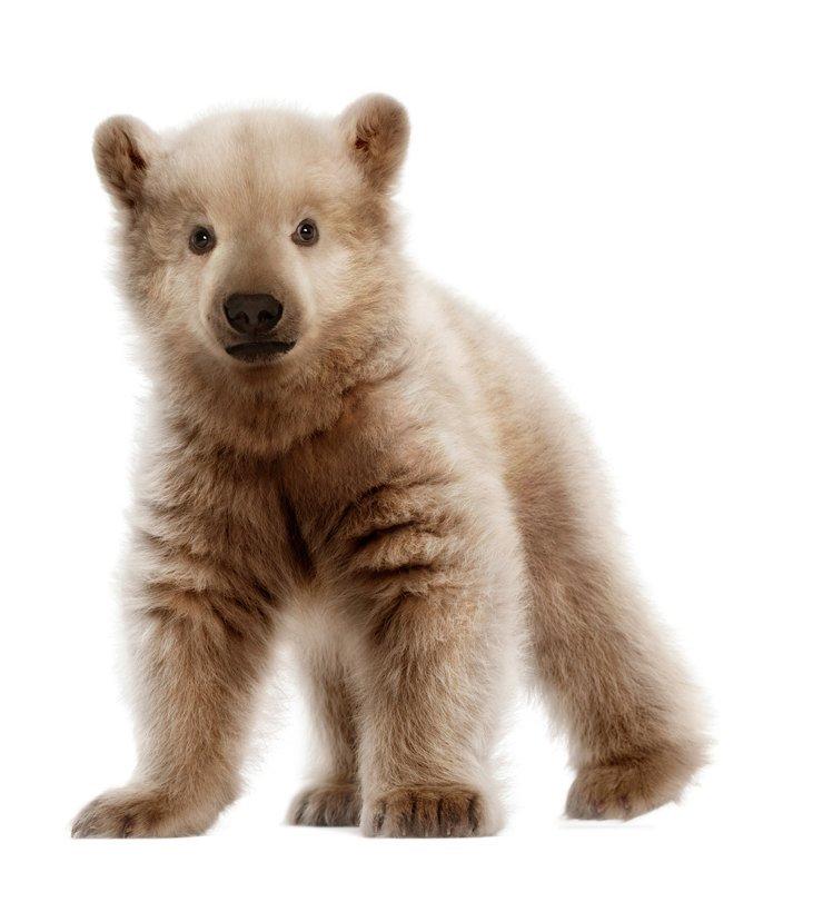 Cam aşa ar arăta un pui hibrid între ursul brun şi cel polar
