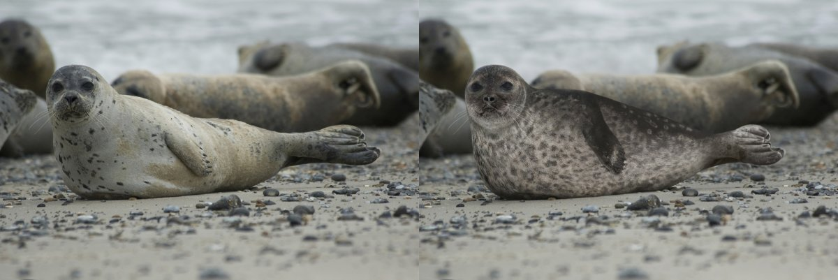 Viţelul de mare (foca comună), în stânga şi foca inelată, în dreapta