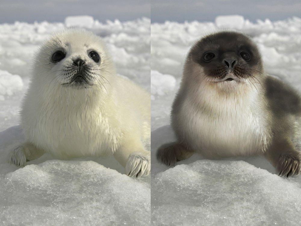 Puiul focii comune, în stânga şi puiul focii inelate în imaginea din dreapta
