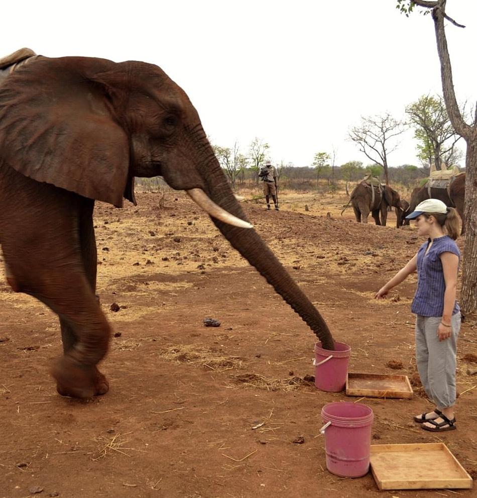 Elefanţii înţeleg gesturile umane fără să fie antrenaţi