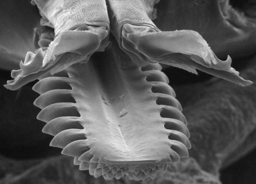 Hipostom, un fel de placă de la nivelul aparatului bucal dotată cu ţepi