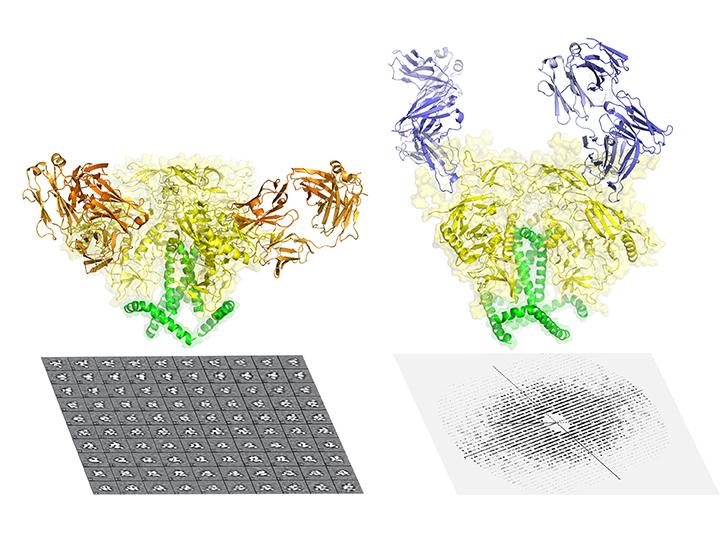 Proteina văzută la criomicroscopie electronică (stânga) şi la cristalografie cu raze X (dreapta)