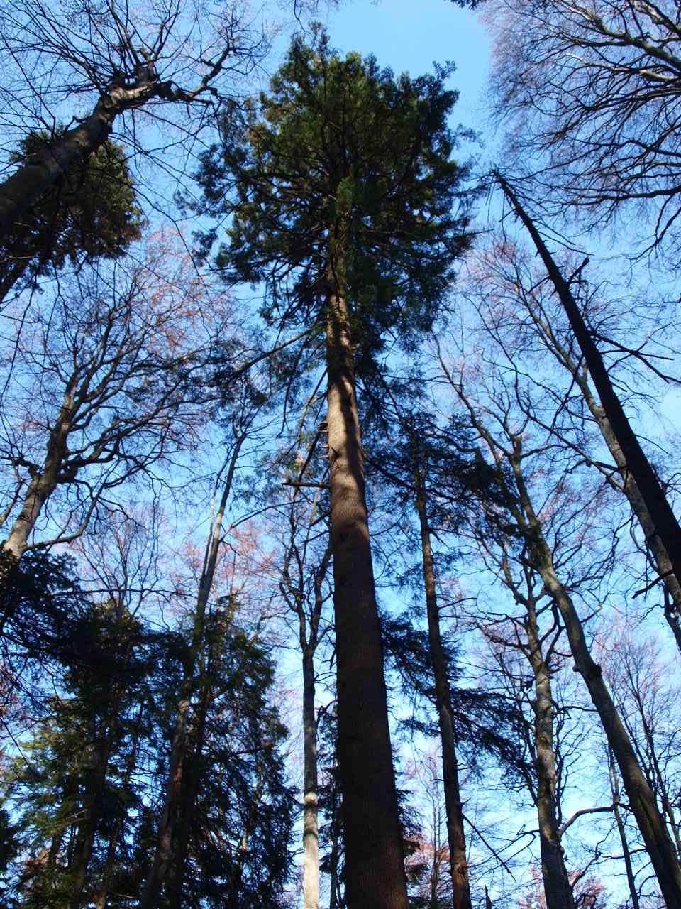 Cel mai înalt brad nedoborât măsurat în România