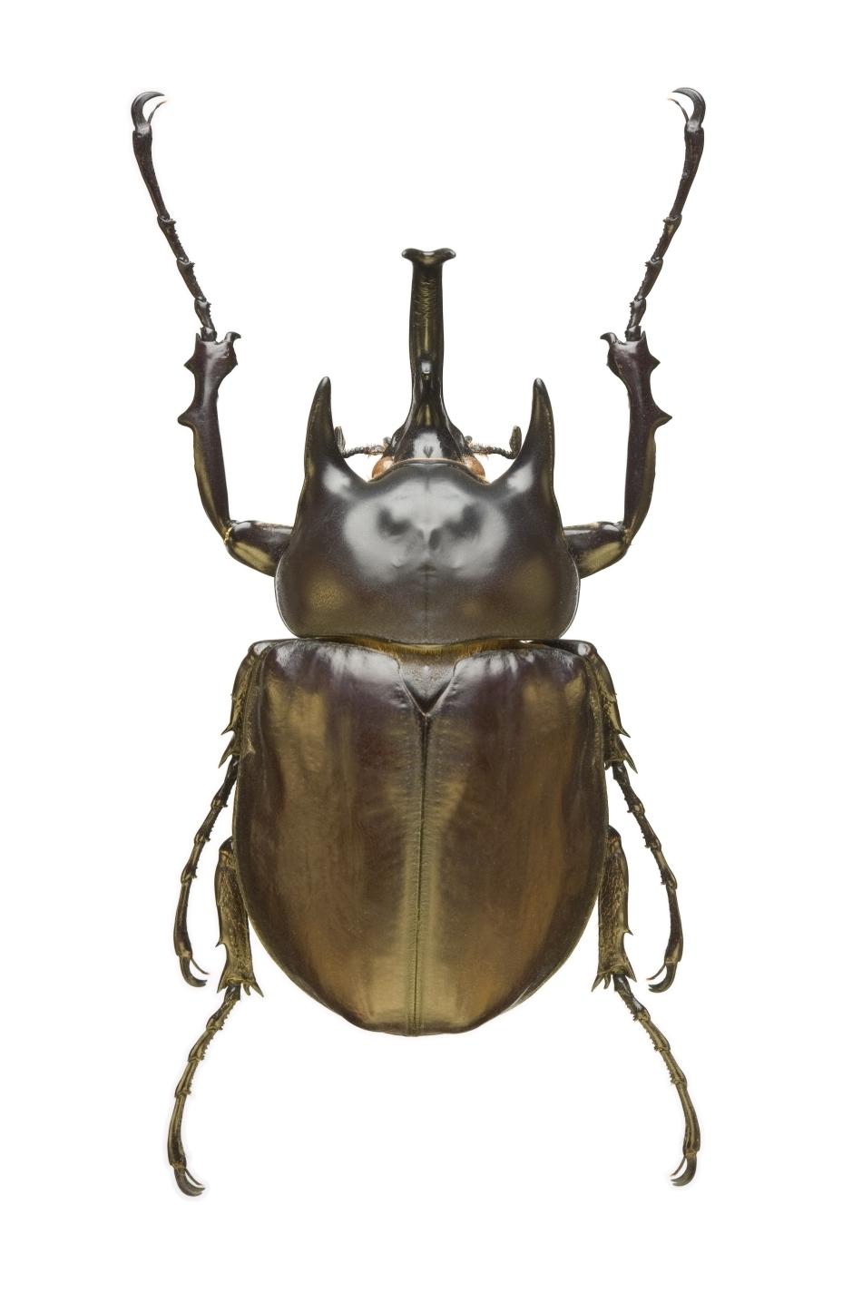 Gândacul acteon