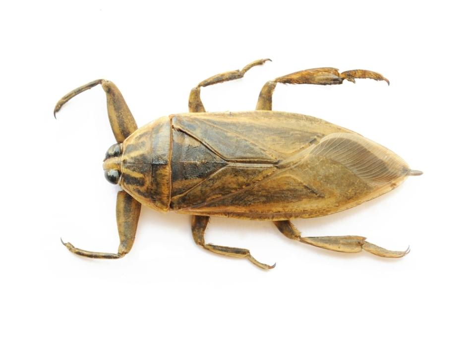 Gândac de apă dulce