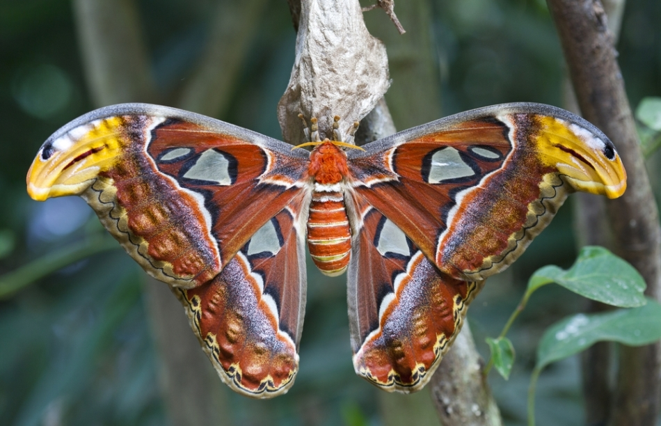 Fluturele atlas